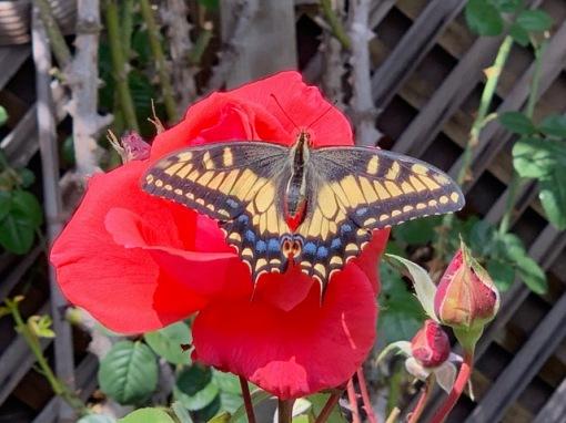 butterflyrose2jpg