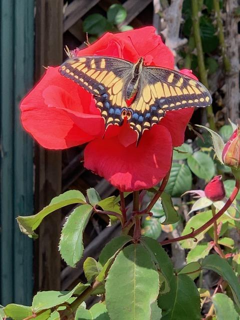 butterflyrosejpeg